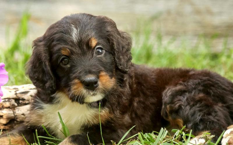 Home | Walnut Valley Puppies