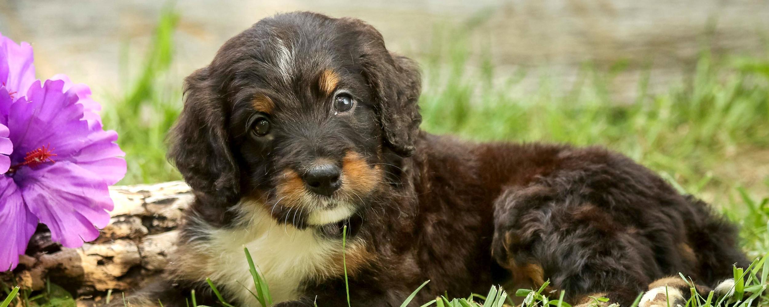 Home   Walnut Valley Puppies