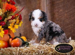 Tri-colored Blue Merle F1B mini bernedoodle near Chicago Illinois