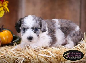 Blue Merle F1B mini bernedoodle near Chicago Illinois