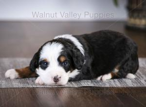 tri-colored mini bernedoodle baby puppy