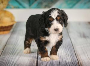 tri-colored mini bernedoodle near Chicago